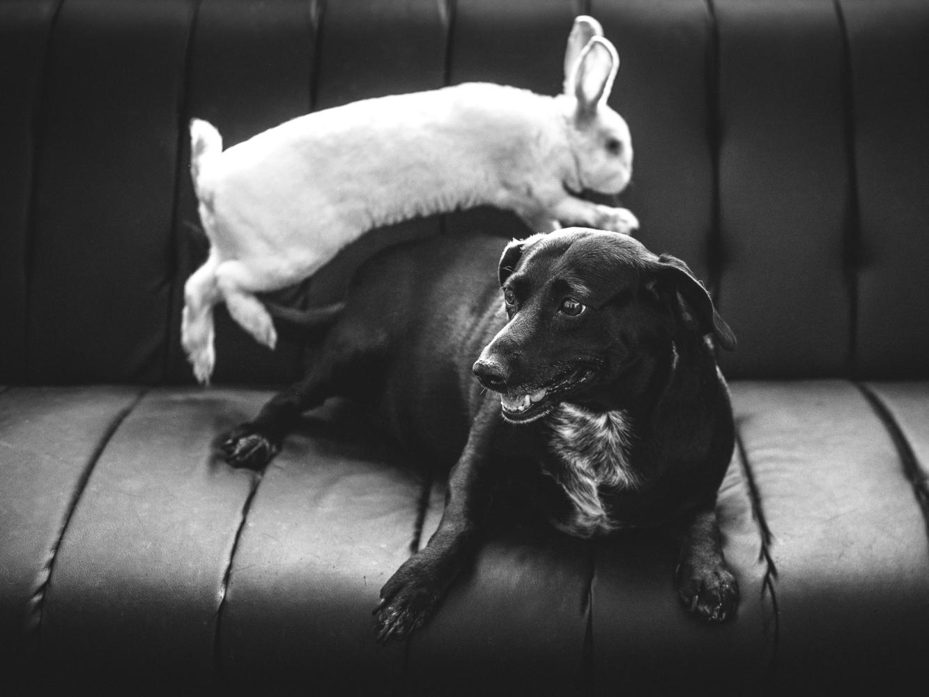 Rabbit standing on dog