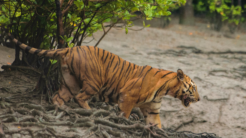Tiger in the Sundarbans mangrove forest