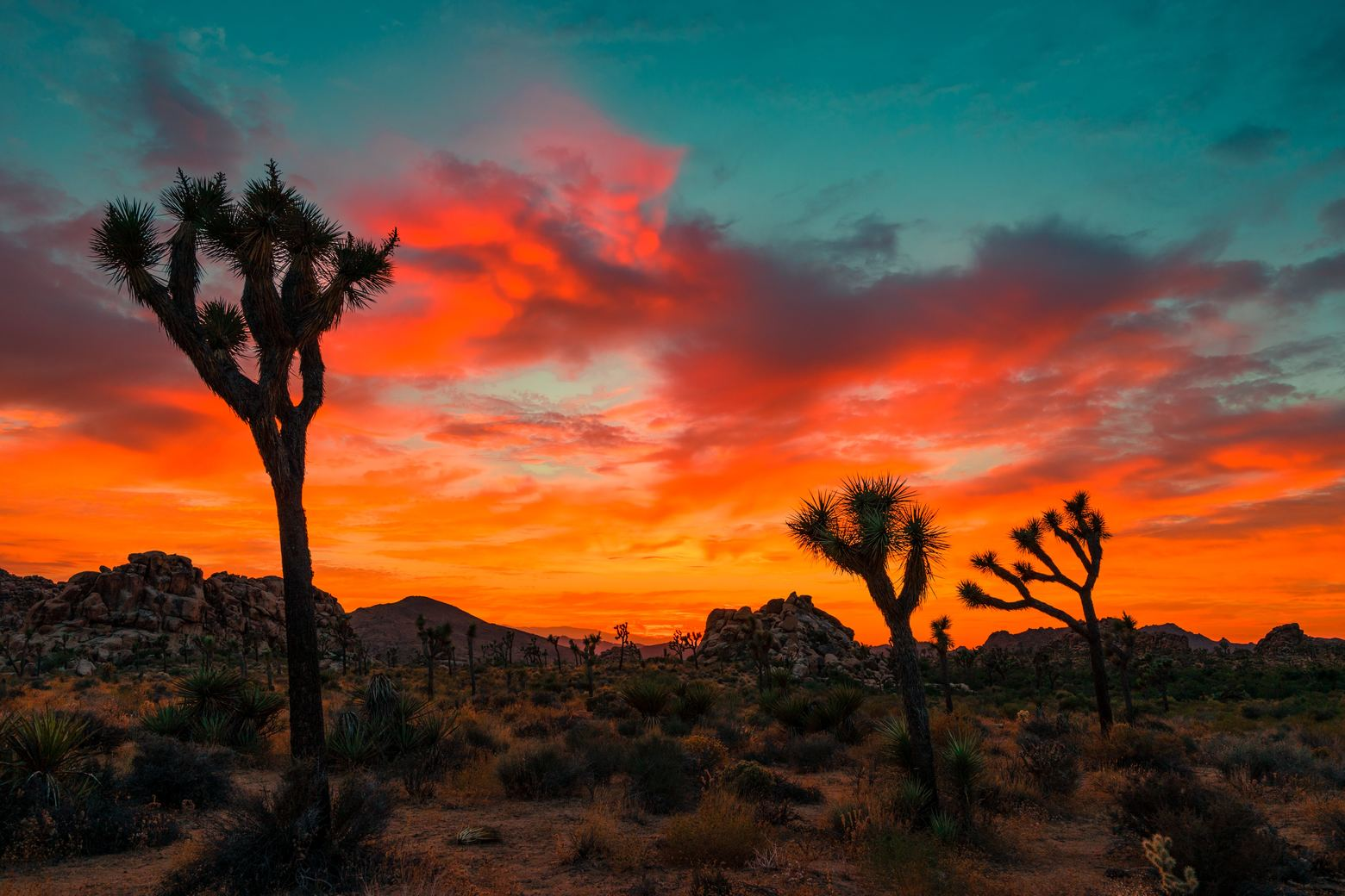 three cacti in Joshua Tree at sunset