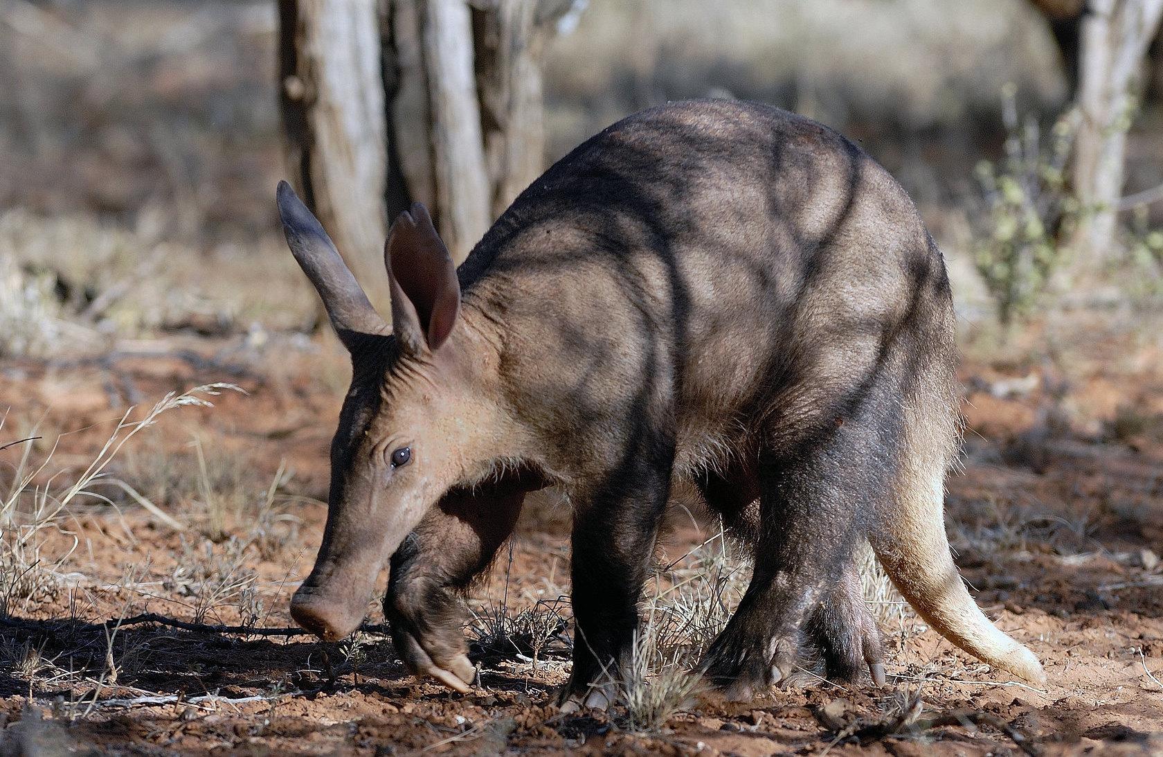 Aardvark in Namibia