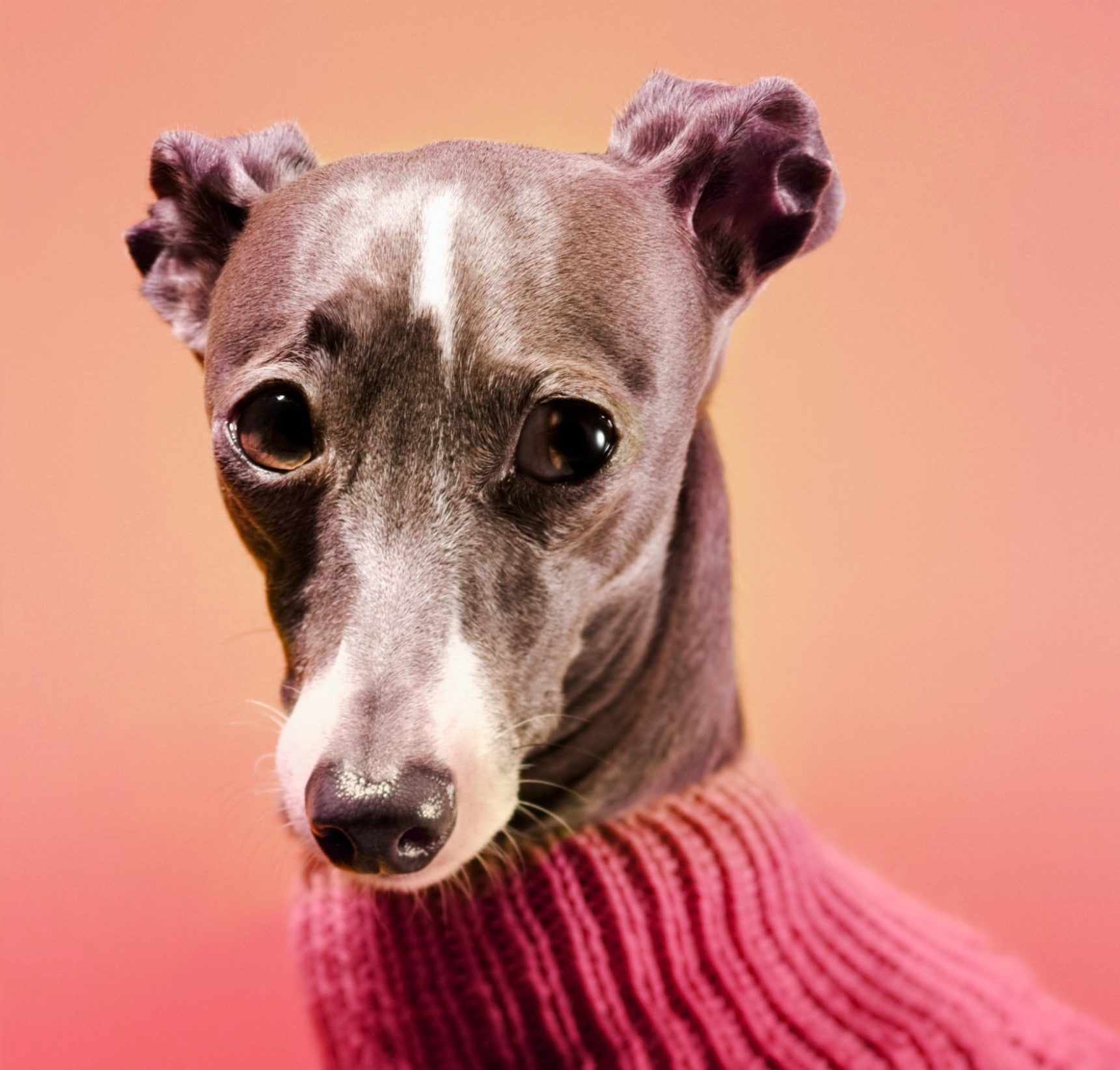 Sad Janet book cover, greyhound in a pink sweater, ombre background