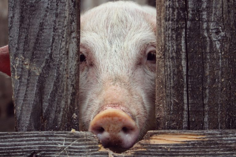 pig face in a fence