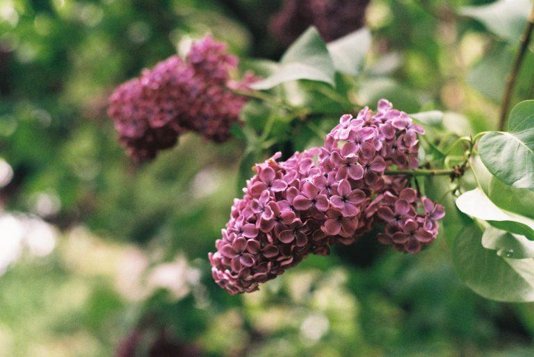 lilac bus