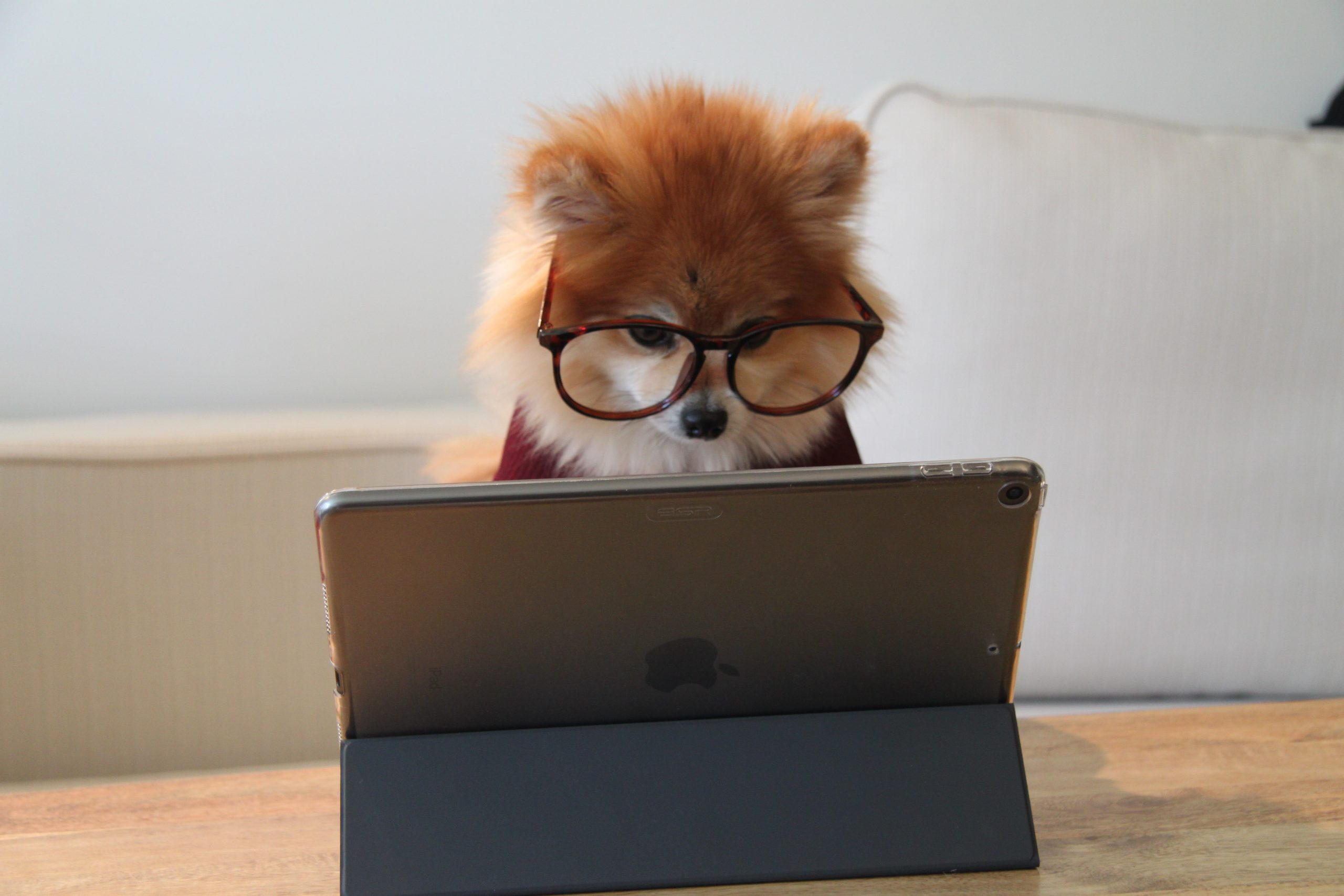 Pomeranian Working on iPad
