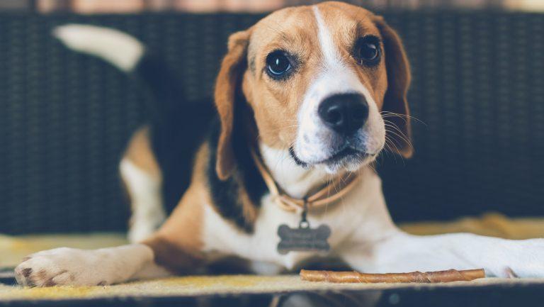 imploring beagle