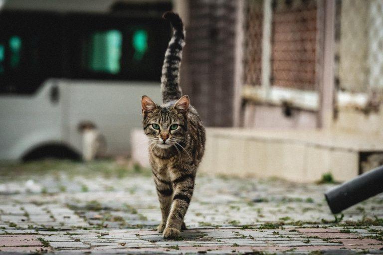 walking cat resized